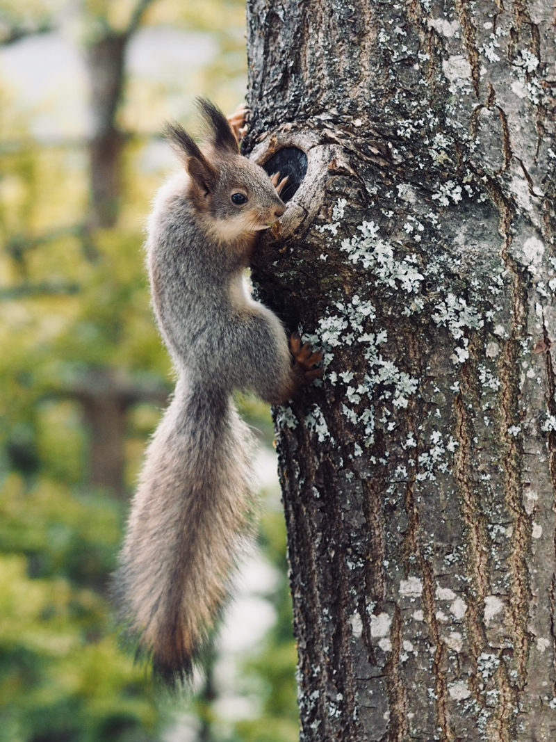 orava ravinto orava poikanen