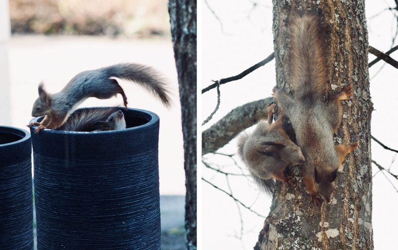 orava kevät