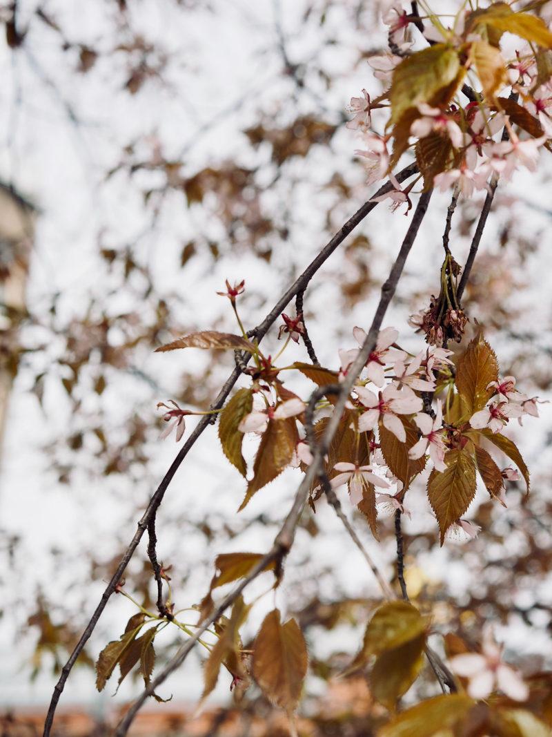 cherryblossom finland
