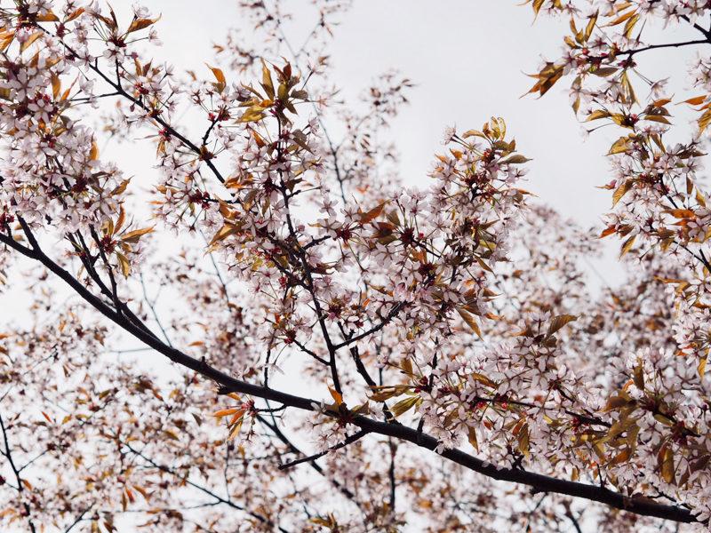 kirsikkapuut tampere