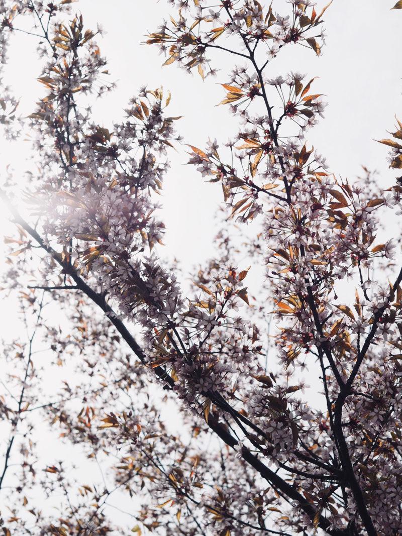 kirsikkapuut suomi