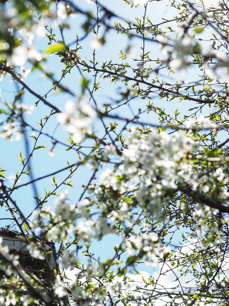 valkoiset kirsikankukat