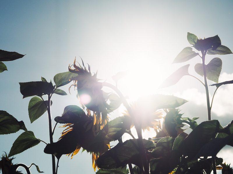 auringonkukkapelto_tampere_2020
